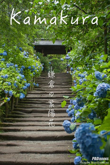 kamakura 鎌倉の紫陽花拡大写真