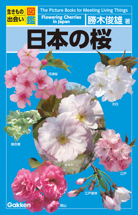 日本の桜拡大写真