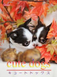 cute dogs14 チワワ