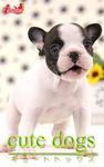 cute dogs21 フレンチブルドッグ-電子書籍