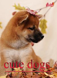 cute dogs06 柴犬