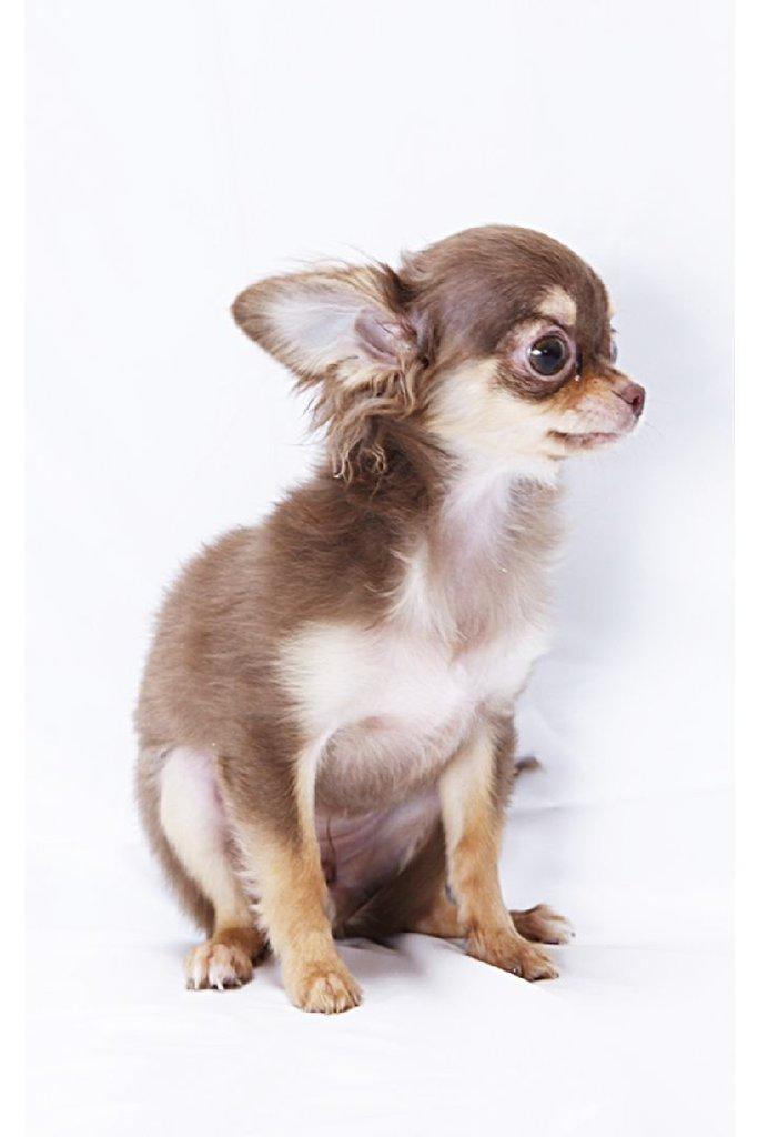 cute dogs12 チワワ-電子書籍